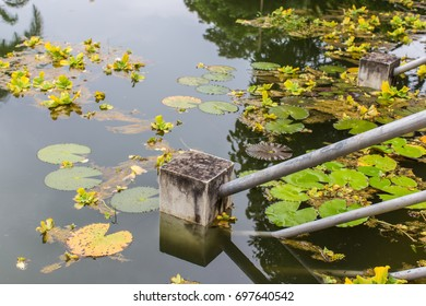 Outdoor closeup environmental view of a calm water pool teeming with blossoming water lily floating on still water which reflected sky . Vintage handrail presences in this frame