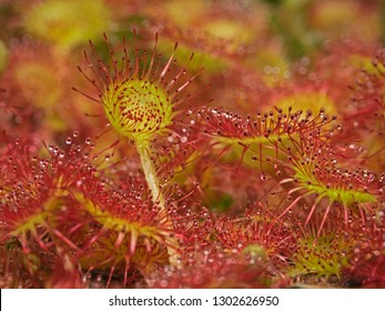 Outdoor close-up photography of common sundew.