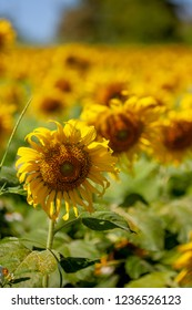 outdoor colorful sunflower