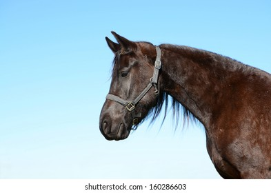 Outdoor head and neck profile portrait of a purebred dark brown Frisian horse with alert facial expression staring in front of blue sky background.