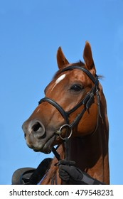 Outdoor head portrait of a South African thoroughbred chestnut race horse with alert facial expression.