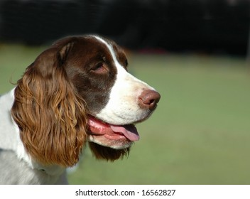 English Springer Spaniel Face Images, Stock Photos & Vectors