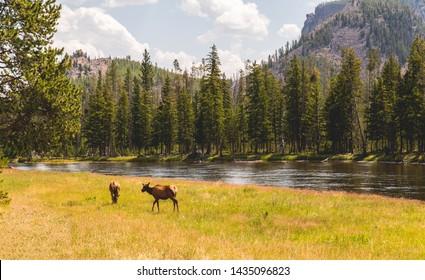 outdoor hiking deer elk eating river