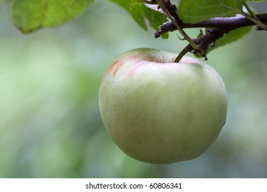 Outdoor image of an apple hanging in the tree.