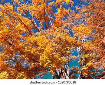 Outdoor image of blazing, bright, colorful leaves in fall in Blue Ridge Parkway in North Carolina, USA.