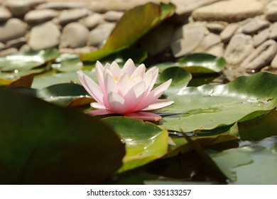 outdoor image of floral background yellow and pink lilly over beautiful pond, Crimea, Russia