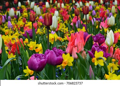 Outdoor multicolored flower field blooming during spring at Tourist destination famous Keukenhof garden, Netherlands. Vivid colors of tulips and daffodils are beautifully contrast with green grass.