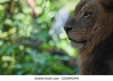 An outdoor photo of an African Lion