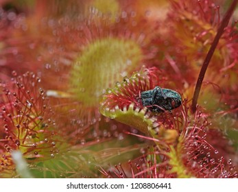 Outdoor photography of a common sundew with an insect in the trap.