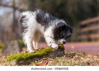 outdoor portrait of a cute Elo puppy