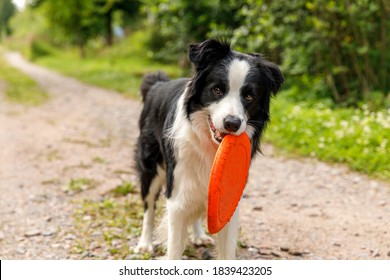 Outdoor portrait of cute funny puppy dog border collie catching toy in air. Dog playing with flying disk. Sports activity with dog in park outside