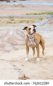 Outdoor Portrait of Cute Red American Staffordshire Terrier in a desert