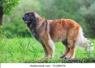 outdoor portrait of a Leonberger dog who sits on a tree trunk