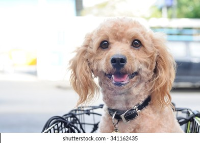 Outdoor Portrait light brown poodle in basket.