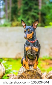 Outdoor portrait of a miniature pinscher dog