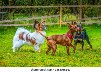 Outdoor portrait of a miniature pinscher and papillon purebreed dogs on the grass