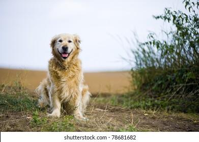 Outdoor portrait of an obedient dog; an elderly female golden retriever.
