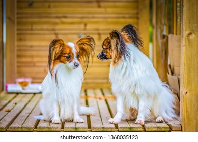 Outdoor portrait of a papillon purebreed dogs