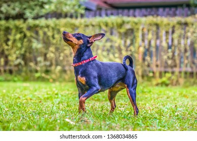Outdoor portrait of a red miniature pinscher dog