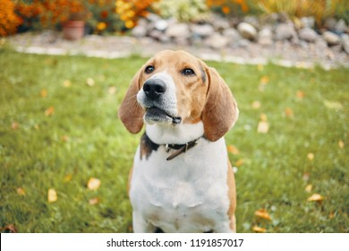 Outdoor portrait of sweet beagle dog with smart brown eyes sitting on grass in countryside with flowers in background. Intelligent scent hound playing outside. Selective focus on dog's face