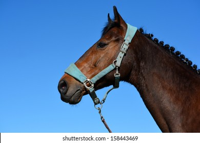 Outdoor profile head portrait of a thoroughbred dark brown horse with dressage mane, halter and attentive facial expression in front of blue sky background.