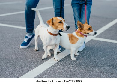 Outdoor shot of two pedigree dogs on leashes have walk, unrecognizable people stand near, pose on road, stroll together at street. People and leisure concept