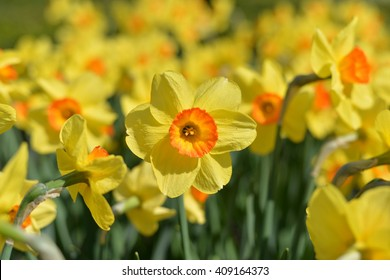 Outdoor shot of yellow daffodils in a nicely full flowerbed in spring