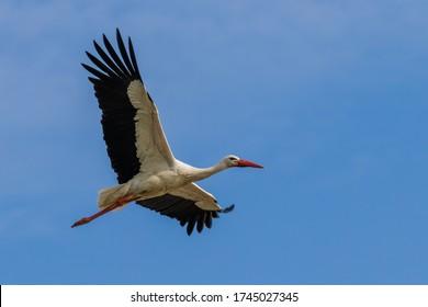 outdoor single flying stork closeup