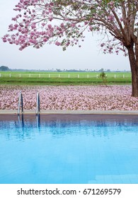 Outdoor swimming pool with pink trumpet tree flower(Tabebuia rosea) and farmland on backside.