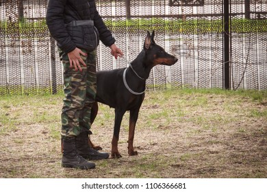 outdoor training process in dogschool. military exercises with the use of dogs. military girl holding the leash of a dog the Doberman Pinscher. walking the dog.