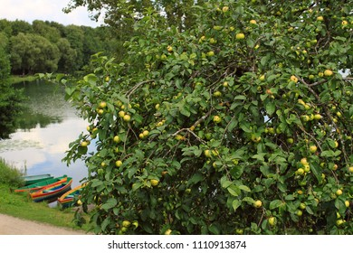 Outdoor view: apple tree, lake landscape, colorful boats. Summer activities, adventures, vacation, relaxing nature, harvest, European countryside.