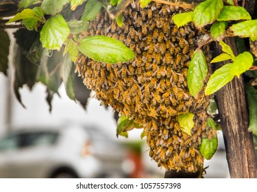 Outdoor view of bee angles guard the nest and build a honeycomb nest with honey sweet, beautiful nest in a tree