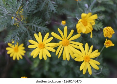 Outdoor view of Euryops pectinatus shrub, also called grey-leaved euryops, in the family Asteraceae. Pattern of yellow, daisy-like composite flowers with silvery green, hairy leaves. Natural picture.