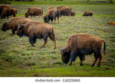 Outdoor view of herd of bison grazing on a field with mountains and trees in the background
