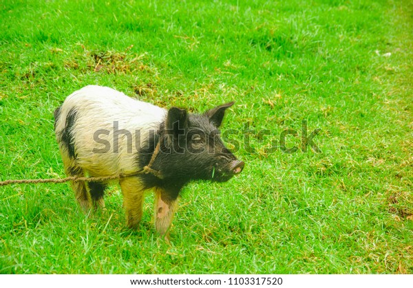 Outdoor view of pig with a rope around his neck grazing in the grass