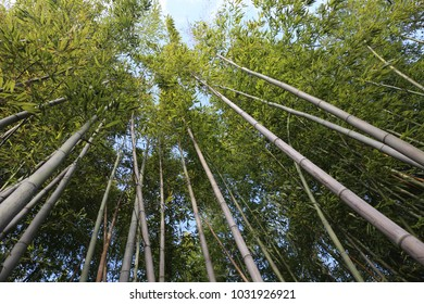 Outdoor view of tall bamboo stalks in a botanical garden. Vertical lines directed to the blue sky. Abstract natural picture with many branches and green leaves. Hole of light at the the foliage top.