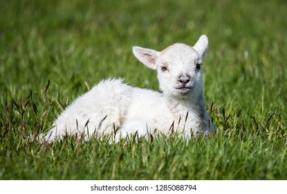 Outdoors Baby Lamb Lying Down On Stock Photo Edit Now 1285088794
