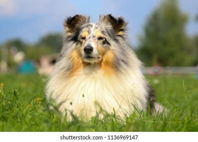 Outdoors portrait of cute and fluffy blue merle shetland sheepdog male. Gray little sheltie, obedient lassie dog with sable and white markings lies outdoors on sunny summer day