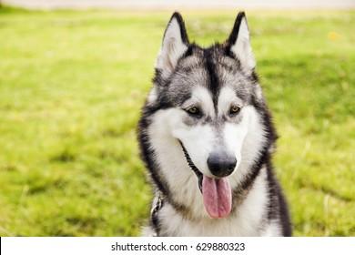 Outdoors portrait of a female Alaskan Malamute dog, sitting on green lawn, looking away.