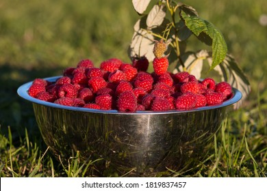 Outdoors shot box full of fresh juicy just picked up red raspberries. Healthy natural delicious tasty snack raspberry full of vitamins. Organic berries in bowl, great nutrition for healthy lifestyle