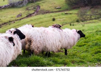 Outdoors view of Ireland contryside with Mayo blackface rams, County Mayo, Ireland