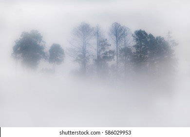 Outlines of trees in the fog creeping. Silhouette of trees in fog in forest.