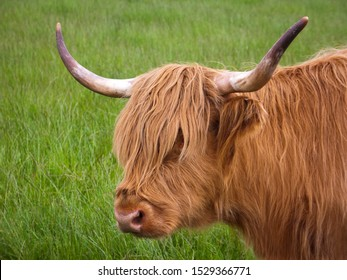 Outside portrait of  a hairy orange highland cow with horns against a grassy background