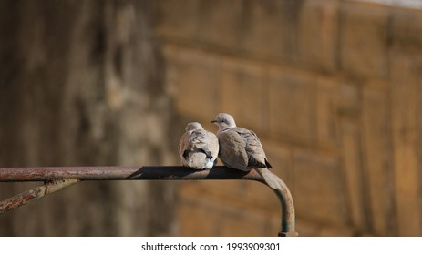 outside turtledoves in love perch