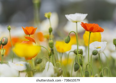 Outstanding California Poppy or Golden Poppy with White and Yellow Poppies in a blurry background
