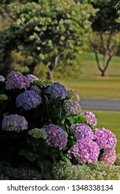 Outstanding Group of Hydrangeas, some in Sunlight, Others in Shade. Portrait or vertical Aspect ,of a Group of Hydrangeas.