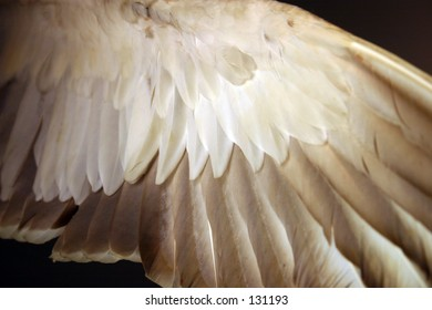 Outstretched wing, shot from below in low light; feathers various shades of dark and light