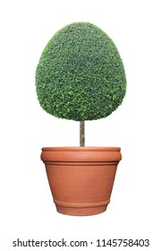 Oval egg shape clipped topiary tree in terracotta clay pot container isolated on white background for formal Japanese and English style artistic design garden