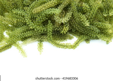 Oval sea grapes seaweed/green caviar/Caulerpa lentillifera. Isolated on white background. Space for texts.