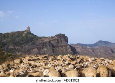 Ovejas frente al Roque Nublo